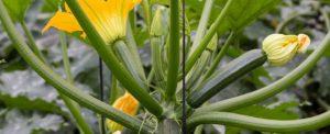 Květy cukety